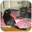 Photo 2 - Labrador Retriever/American Staffordshire Terrier Mix Puppy for adoption in Franklin, Virginia - Bella Rose