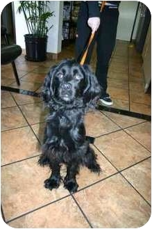 Spaniel (Unknown Type) Mix Puppy for adoption in Los Angeles, California - Firu