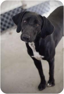 Labrador Retriever Mix Dog for adoption in Henderson, North Carolina - Bess