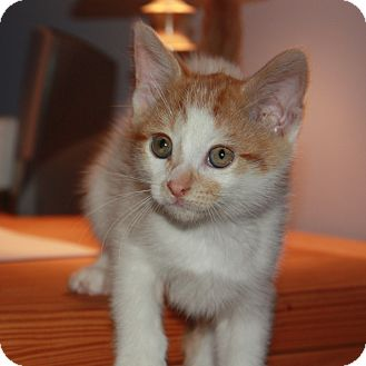 Domestic Shorthair Kitten for adoption in Toronto, Ontario - Dexter