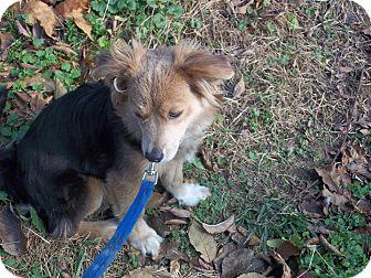 Pomeranian/Corgi Mix Dog for adoption in Lancaster, Ohio - Jasmine