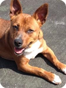 Dachshund/Corgi Mix Dog for adoption in Harrisonburg, Virginia - Marco