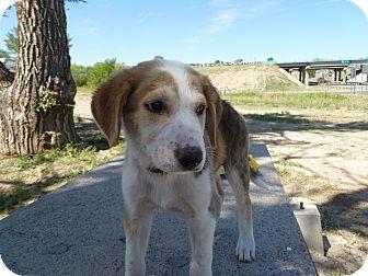 Collie/Labrador Retriever Mix Puppy for adoption in Westminster, Colorado - James