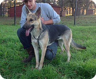 German Shepherd Dog Dog for adoption in Fort Worth, Texas - Ariel