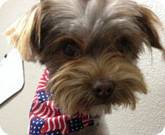 Yorkie, Yorkshire Terrier Dog for adoption in Fort Worth, Texas - YANCY