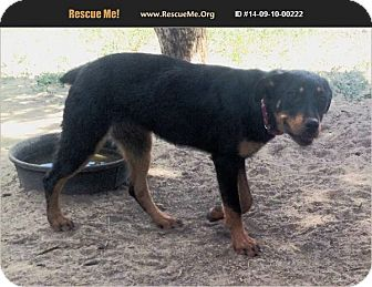 Rottweiler Mix Dog for adoption in Cuba, New Mexico - Rikki