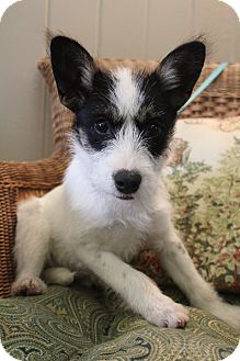 Schnauzer (Miniature)/Chihuahua Mix Puppy for adoption in Bedminster, New Jersey - Daphne