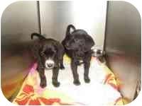 Beagle/Labrador Retriever Mix Dog for adoption in Claymont, Delaware - Lucky & Faith
