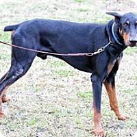 Adopt A Pet :: Gunny - killeen, TX