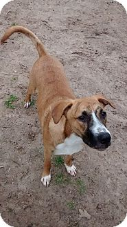 Pit Bull Terrier Mix Dog for adoption in Hearne, Texas - Diddy