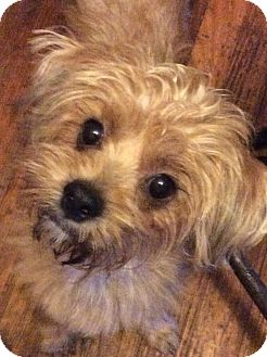Cairn Terrier/Poodle (Miniature) Mix Puppy for adoption in S. Pasedena, Florida - Liam