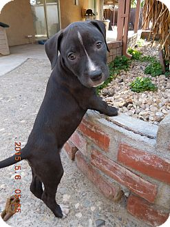 Labrador Retriever/Pit Bull Terrier Mix Puppy for adoption in Tracy, California - Dyson