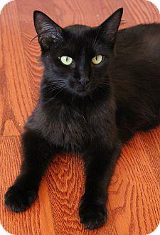 Domestic Mediumhair Cat for adoption in Saanichton, British Columbia - Shadow