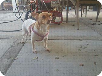 Chihuahua Mix Dog for adoption in Rancho Cordova, California - Little Roxy