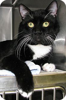 Domestic Shorthair Cat for adoption in New Kensington, Pennsylvania - Bud