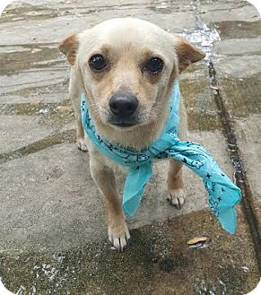 Chihuahua Mix Dog for adoption in San Antonio, Texas - Romeo