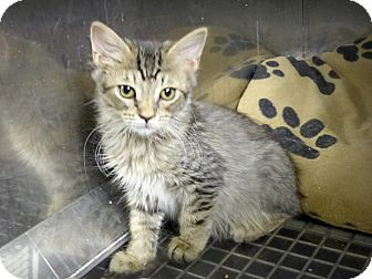 Domestic Mediumhair Kitten for adoption in Marlinton, West Virginia - Anne--RESCUED!