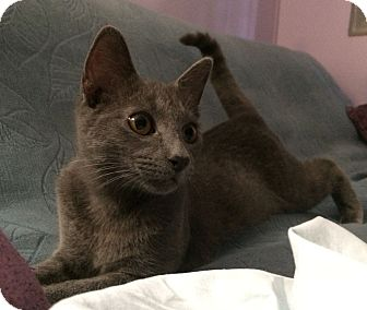 Russian Blue Kitten for adoption in Savannah, Georgia - Grayson
