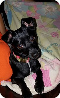 Rat Terrier/Chihuahua Mix Dog for adoption in Hollywood, Florida - MIDNIGHT