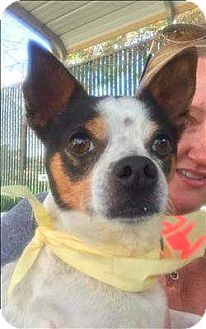 Rat Terrier/Chihuahua Mix Dog for adoption in Encino, California - Sammy