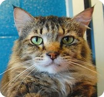 Maine Coon Cat for adoption in Wichita, Kansas - Gunny