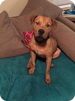 Black Mouth Cur Mix Dog for adoption in Spring, Texas - Niko