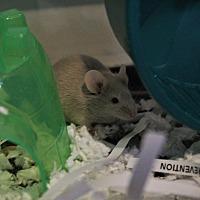Mouse for adoption in St. Paul, Minnesota - Sorrel