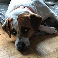 Hound (Unknown Type) Mix Dog for adoption in Southampton, New York - JACKIE O