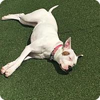 Adopt A Pet :: Aurora - Sharon, CT