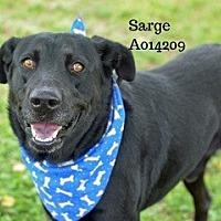 Adopt A Pet :: Sarge - Montgomery, TX