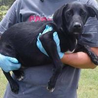 Adopt A Pet :: Ian - Dublin, GA