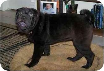 Shar Pei Dog for adoption in Houston, Texas - Licorice
