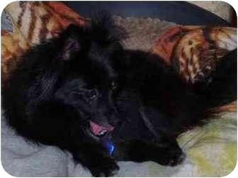 Pomeranian Dog for adoption in Lake Jackson, Texas - Rayna