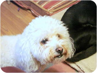 Bichon Frise Dog for adoption in Chandler, Arizona - Boogie Woogie