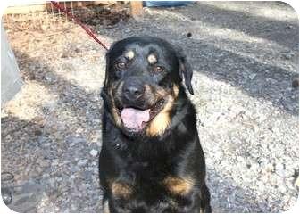 Rottweiler/Labrador Retriever Mix Dog for adoption in Cleveland, Georgia - BoBo
