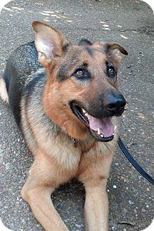 German Shepherd Dog Dog for adoption in Nashville, Tennessee - Siggy