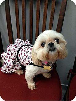 Shih Tzu Dog for adoption in Los Angeles, California - CHERUB