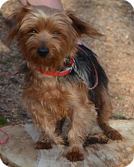 Yorkie, Yorkshire Terrier Mix Dog for adoption in Plainfield, Connecticut - Gunner