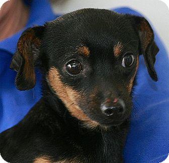 Miniature Pinscher Mix Puppy for adoption in Berkeley, California - Tyler
