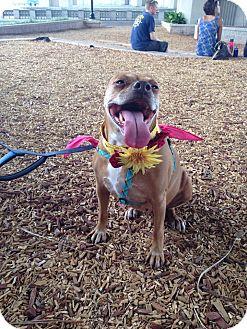 Pit Bull Terrier Mix Dog for adoption in Jacksonville, Florida - Mira