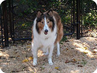 Collie Dog for adoption in Toronto, Ontario - LuLu