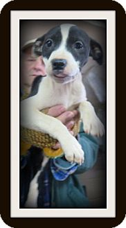 Labrador Retriever/Hound (Unknown Type) Mix Puppy for adoption in Barnegat, New Jersey - Grette