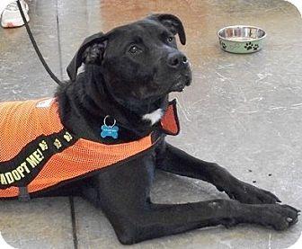 Labrador Retriever Mix Dog for adoption in Castro Valley, California - Otter