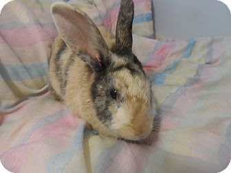 Harlequin Mix for adoption in Hillside, New Jersey - Felicity