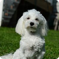 Adopt A Pet :: Kaylee - Blairstown, NJ