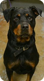 Rottweiler Mix Dog for adoption in Frederick, Pennsylvania - Missy