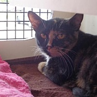 Domestic Shorthair Cat for adoption in Columbus, Ohio - Cassidy