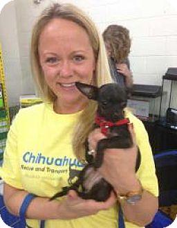 Chihuahua Mix Puppy for adoption in Dallas, Texas - Amari - Puppy