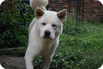 Akita Dog for adoption in Virginia Beach, Virginia - Bear