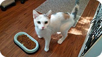 Calico Cat for adoption in Ashland, Ohio - Nalla